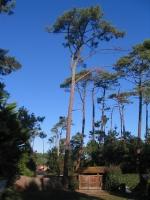 Fällung eines 40m hohen Nadelbaumes