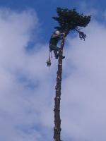 Abschneiden des Wipfels (ca. 10 m) einer    40m hohen Tanne