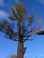 Trockenast Entfernung an einem Mammutbaum