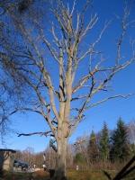 Fällung von riesigen Bäumen