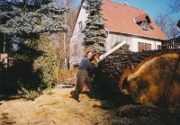 Fällung eines 202 cm starken Baumes in einem kleinen Hof