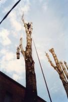 Baumfällung mittels Klettertechnik über einem Glashaus